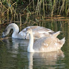cygents in the water by Scott Williams-Collier - Animals Birds ( nature, wildlife, birds,  )