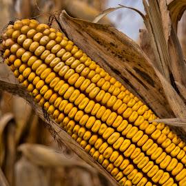 Harvest by Jeff Cottingham - Nature Up Close Gardens & Produce ( ear of corn, cornfield, cob, harvest, corncob, corn )