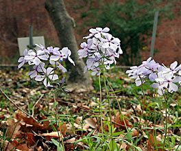 Photo: Phlox divaricata -- An on-site, native spring wildflower. There are lots of these at the VA Hospital grounds across town.