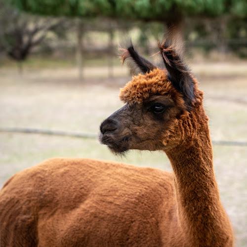 2019-04 Healesville Alpaca