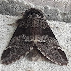 The marbled brown