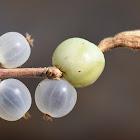 Round-leaved honeysuckle