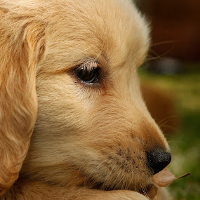 missing my mom by Cristobal Garciaferro Rubio - Animals - Dogs Puppies ( puppie, dog, little dog, golden, golden retriever )