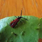 Red Winged Lycid Beetle
