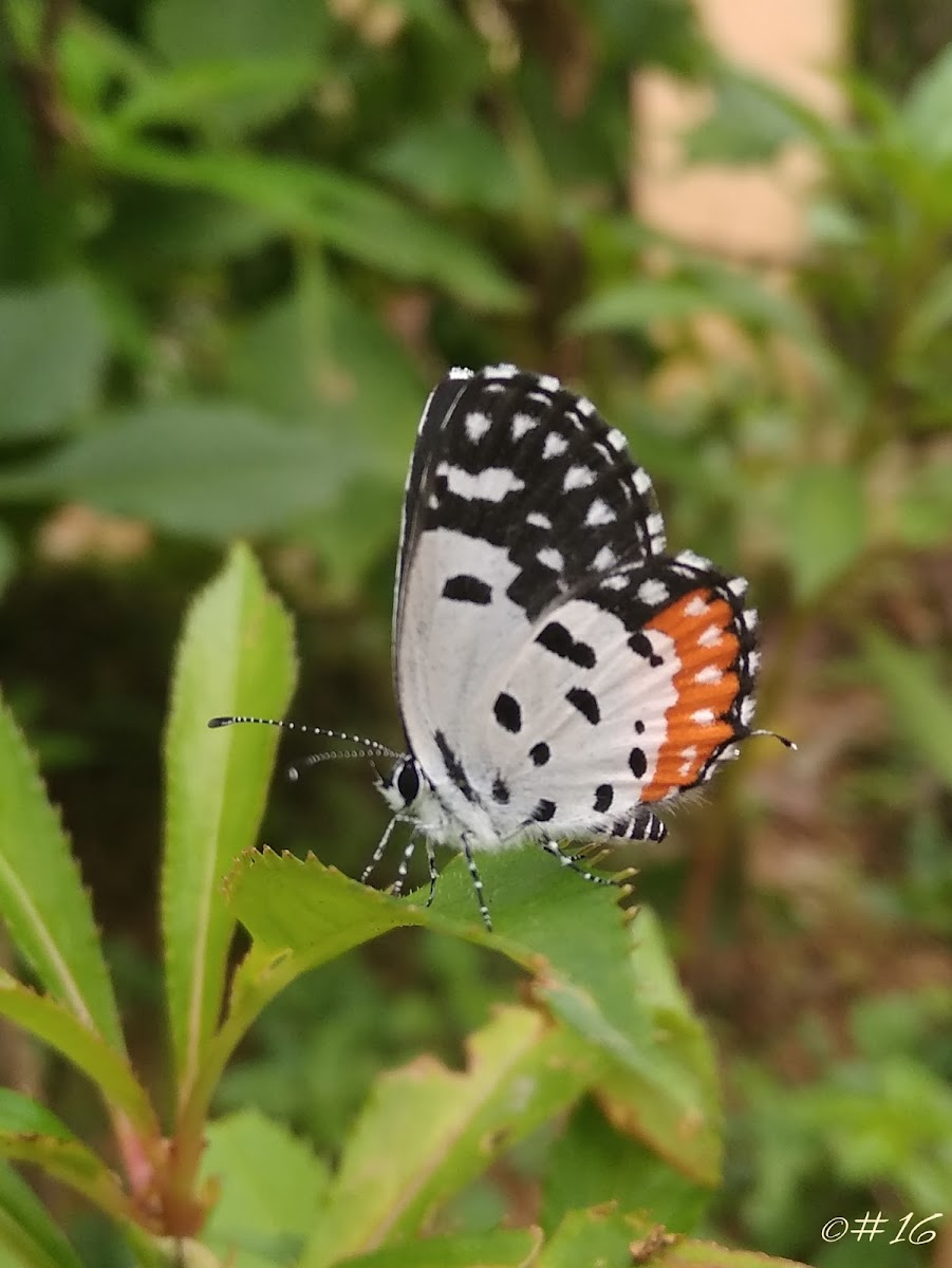 Indian Red Pierrot