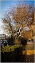Photo: Vișin Turcesc (Prunus Mahaleb) - de pe Str. Libertatii - 2016.12.05