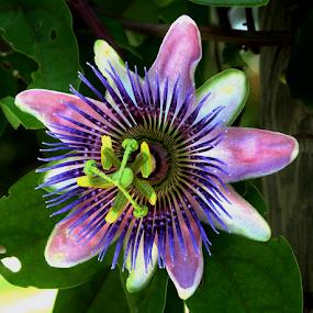 Purple Passion by Priscilla Renda McDaniel - Flowers Single Flower ( green, medium size, purple passion, yellow, flower,  )