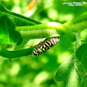 Agrosoma akenalis