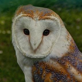 Barn Owl by Doug Faraday-Reeves - Animals Birds ( barn owl )
