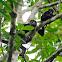 Aullador negro (Mantled howler)