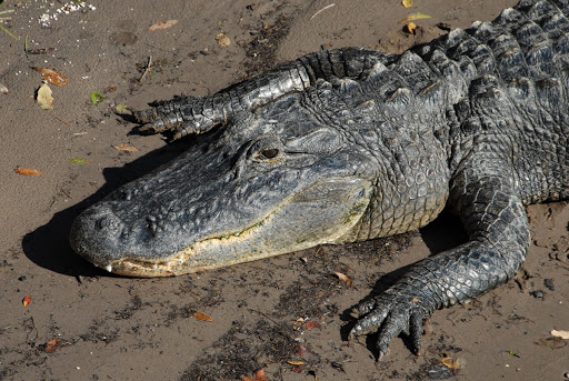 An alligator basks in the sun on the bank of the Banana River near NASA's Kennedy Space Center in Florida.