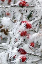 Photo: Hagebutten in Schnee und Eis
