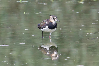 Photo: Northern Lapwing