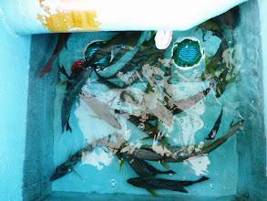 Photo: 釣果発表! クマガイさんのイケス。 イサキのサイズがよくなってきました! 大きいものは1kgちょっとあります。
