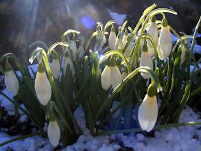Photo: Pavasario lygiadienis 2012-03-20 Vakar vėl sugrįžo žiema, vėl sniegas padengė pavasariu alsuojančią žemę. Balti snieguolių žiedeliai ištvermingai atlaikė stiprius vėjo gūsius ir staigiai atšalusį orą – joms tai įprasta, juk jos pirmosios savo žiedais sveikina pavasarį, žavėdamos savo ištverme ir nuotakos grožiu.
