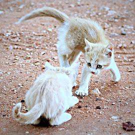 Kittens Playing by Pieter J de Villiers - Animals - Cats Kittens
