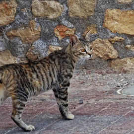 Tiger cat by Nicoleta Gradinaru - Uncategorized All Uncategorized ( cat, stripes )
