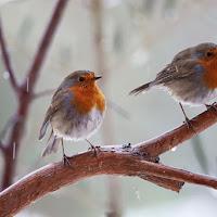The Robin brothers di