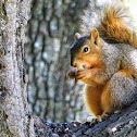 Fox squirrel(baby)