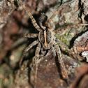 Dark Wolf Spider