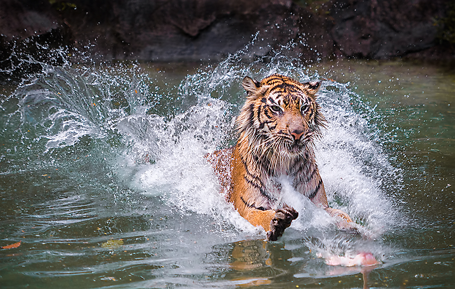 surfing by Woe Hendrik husin - Animals Lions, Tigers & Big Cats ( animals in motion, pwc76, motion, animal )