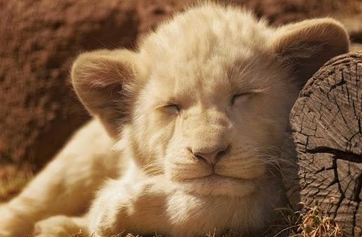 Little Lion Live Wallpaper