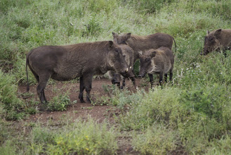 Photo: Warthog female with young