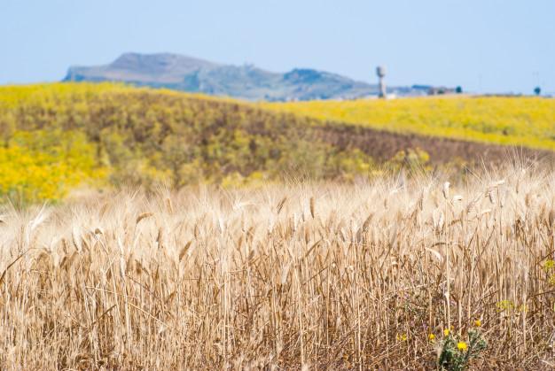 żywność ekologiczna - uprawa zbóż