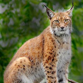 Madame Lynx by Gérard CHATENET - Animals Lions, Tigers & Big Cats