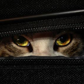 Mr. nice guy by Senna Ayd - Animals - Cats Portraits ( cat, eye )