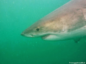 Photo: #012-Le Grand Requin Blanc (Carcharodon carcharias) à Gansbaai.