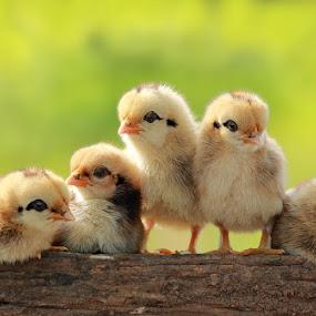 by Prachit Punyapor - Animals Birds ( pwcbabyanimals )