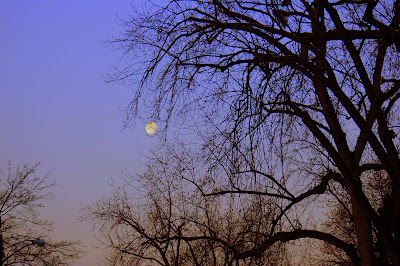 Moon caught in tree branches, winter morning.