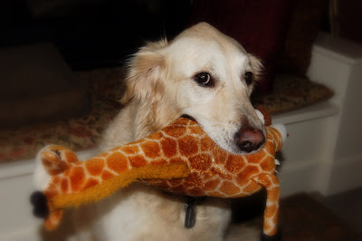 I caught a giraffe for you! White golden retriever with her prize.