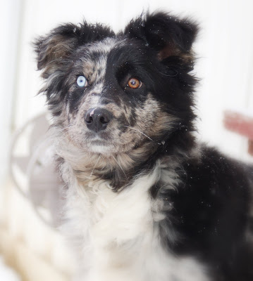 Australian Sheperd Mix puppy with one blue and one brown eye.