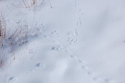 Animal tracks...tiny paw prints...in fresh snow.