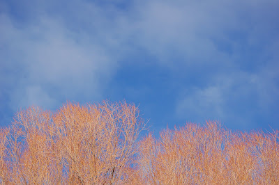 Red branches, blue sky on a cold winter day.