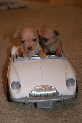 Chihuahua puppies go for a ride in their little convertible. From Cute Overload.com