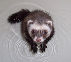 Splashy ferret pawing ripples in his bath. From Cute Overload.com