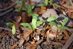Spring's first maple seedlings sprout. Photo by Lisa Callagher Onizuka