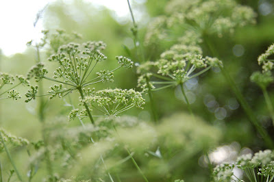Sparkly dill (or fennel?) seed heads explode like fireworks.
