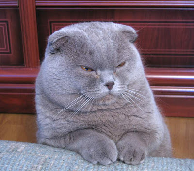 Disapproving gray cat