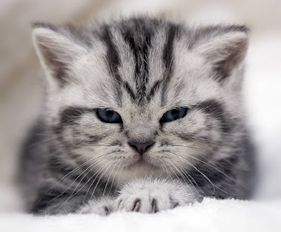 Gray and white striped kitten