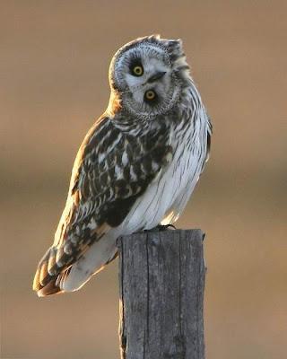 Silly bird. Owl turning its head half upside down.