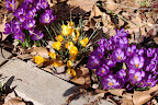 Spring crocuses explode from last fall's leaves.