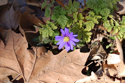 One of the first spring flowers...is it an anemone?