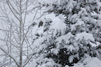Snowy trees - still winter in Hailey Idaho.