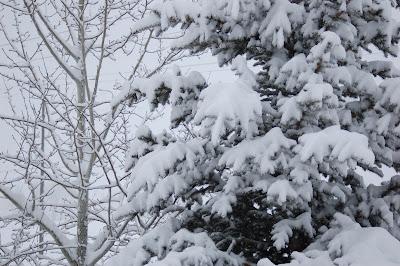 Snowy trees - still winter in Hailey Idaho.