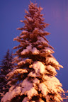 Majestic fir tree flocked in white