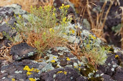 Sage, moss & lichen on rock,  near Twin Falls, ID - Photo by Lisa Callagher Onizuka